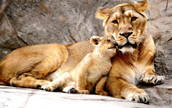 lioness-with-cubs